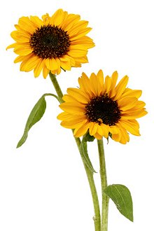 FAQs. Library Image: Sunflowers